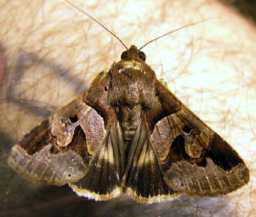 Melipotis fasciolaris guadeloupe 5 noctuelle bien contrast e le monde des insectes - Gros papillon de nuit dangereux ...