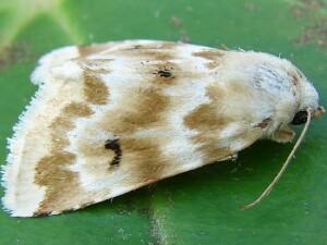 Machele Whites Flower Moth 11178