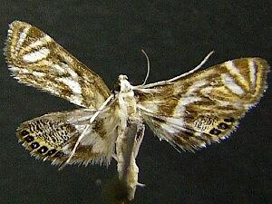 Neocataclysta magnificalis