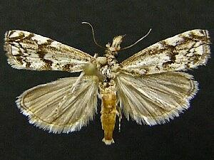 Mesolia incertella
