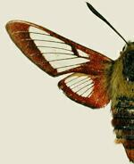Hemaris gracilis