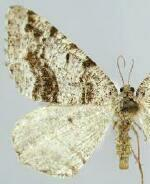 Macaria decorata