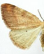 Drepanulatrix nevadaria