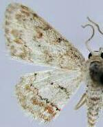 Idaea retractaria