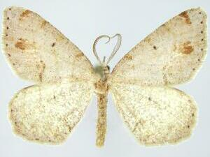 Macaria coloradensis