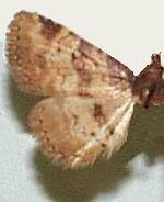 Metalectra cinctus