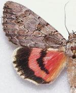 Catocala amatrix