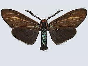 Ctenucha cressonana