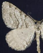 Speranza decorata