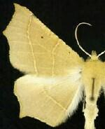 Tetracis cervinaria