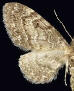 Eupithecia harrisonata