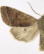 Orthosia pacifica
