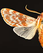 Lophocampa significans