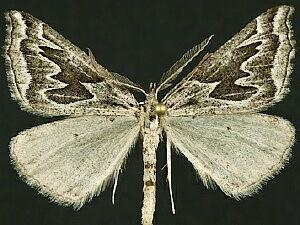 Plataea californiaria