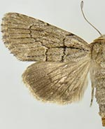 Sympistis eleaner
