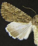 Scotogramma gatei