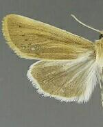 Copablepharon michiganensis