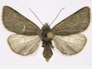 Feltia woodiana