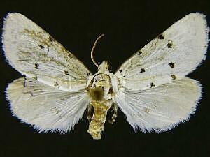 Grotella harveyi