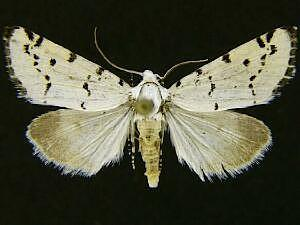Grotella binda