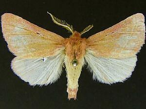 Hyparpax minor