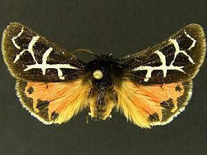 Grammia brillians