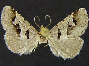 Baniana minor