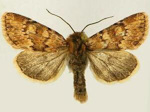 Apamea alticola