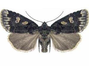 Moth Photographers Group Cosmia Praeacuta 9814