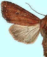 Apamea scoparia