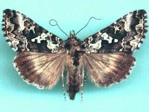 Syngrapha rectangula