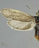 Tegeticula synthetica