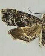 Anthophila alpinella
