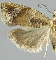 Epinotia terracoctana