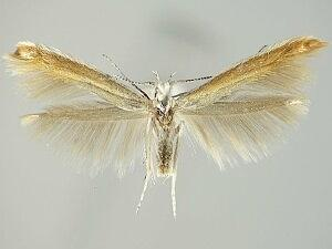 Coleophora accordella