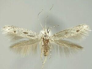 Coleophora irroratella