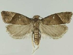 Pelochrista juncticiliana