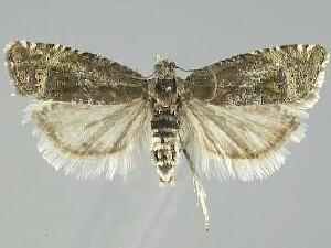 Grapholita vitrana