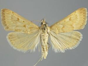 Achyra occidentalis