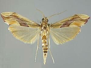 Agathodes monstralis