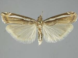 Crambus occidentalis