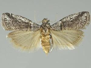 Acrobasis comptella
