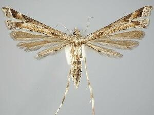 Platyptilia williamsii