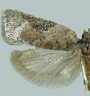 Acleris implexana