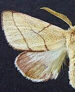 Hyparpax perophoroides