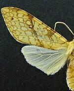 Lophocampa annulosa