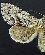 Acronicta spinea