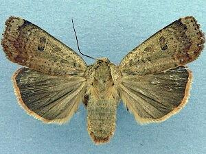Abagrotis alternata