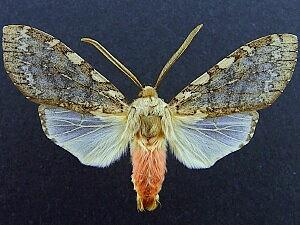 Pseudohemihyalea labecula
