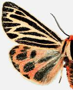 Grammia philipiana